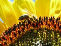 Подавая пчела Стоковые Изображения