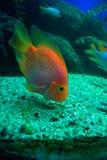 подавая рыбы тропические Стоковое Изображение RF