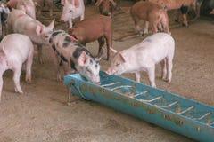 Подавая свинья в ферме Стоковое Изображение RF