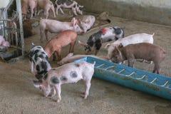 Подавая свинья в ферме Стоковое Фото