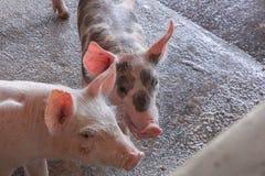 Подавая свинья в ферме Стоковая Фотография RF