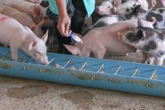 Подавая свинья в ферме Стоковое фото RF