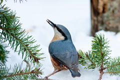 подавая снежок сосенки nuthatch игл Стоковое фото RF