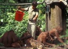Подавая угрожаемое Orang Utans в Sepilok Борнео Стоковое фото RF