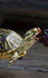 подавая черепаха Стоковые Изображения