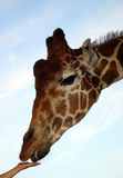 подавая giraffe Стоковое Изображение RF
