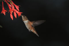 подавая hummingbird Стоковые Фотографии RF