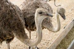 2 подавая ostrichs в ферме Стоковая Фотография RF
