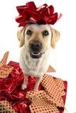 Подарок собаки УСАЖИВАНИЕ ЛАБРАДОР НАД КРАСНОЙ УПАКОВОЧНОЙ БУМАГОЙ С КРАСНЫМ СМЫЧКОМ НА ГОЛОВЕ НАСТОЯЩИЙ МОМЕНТ ЩЕНКА ИЛИ ЛЮБИМЦА стоковая фотография rf