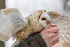 Подают евроазиатский смуглый сыч, aluco Strix, от руки соколиного охотника в древесинах в зиме Евроазиатский смуглый сыч летает е Стоковая Фотография RF