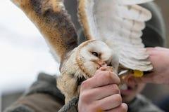 Подают евроазиатский смуглый сыч, aluco Strix, от руки соколиного охотника в древесинах в зиме Евроазиатский смуглый сыч летает е Стоковые Изображения