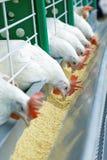 Подают немного белых цыплят в ряд Стоковая Фотография