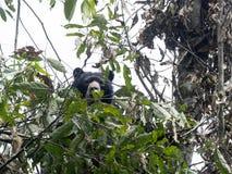 Подают Spectacled медведь, ornatus Tremarctos, на дереве в лесе горы туманном Maquipucuna, эквадора Стоковое фото RF