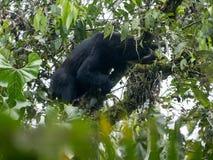 Подают Spectacled медведь, ornatus Tremarctos, на дереве в лесе горы туманном Maquipucuna, эквадора Стоковые Изображения