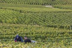 2 подборщика виноградин в Cramant Франции Стоковая Фотография