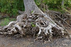 Подвергли действию корни дерева на речном береге Стоковые Изображения