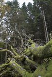 Подвергли действию корни мертвого дерева стоковая фотография rf