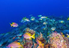 Подводная сцена с мелководьем желтых тропических рыб Стоковое Фото