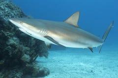 Подводное изображение акулы рифа с рыболовным крючком стоковые фотографии rf