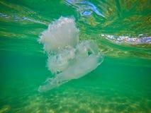 Подводное фото от белых медуз стоковое изображение rf
