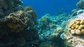 Тропический коралловый риф Подводные рыбы в Ras Mohamed, Sharm El Sheikh, Египте акции видеоматериалы