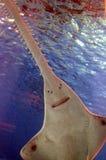 Подводный взгляд морской флоры и фауны увидел пилорылых Стоковые Фото