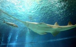 Подводный взгляд морской флоры и фауны увидел пилорылых Стоковое фото RF
