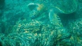 Подводный конец вверх зеленой морской черепахи питаясь на isla Сантьяго стоковые фото