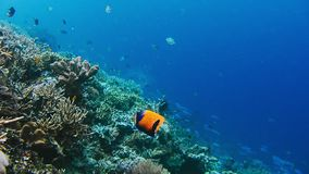 Подводный ландшафт кораллового рифа Изумительный подводный мир морской флоры и фауны Скуба и snorkeling видеоматериал