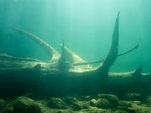 Подводный осветите взгляд контржурным светом старого sunken дерева с ветвями стоковое изображение