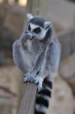 подготовьте его лизать lemur Стоковая Фотография RF