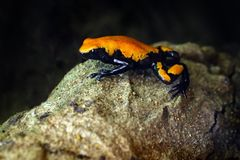 Поддерживаемая Выплеск лягушка отравы, galactonotus Adelphobates, оранжевая черная лягушка отравы, троповые джунгли Малая лягушка стоковые фотографии rf