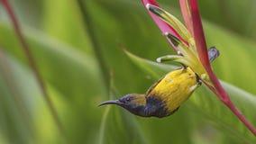 поддерживаемое Оливк Sunbird вися вне на цветке Стоковое Изображение