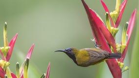 поддерживаемое Оливк Sunbird качая на цветке Стоковые Изображения