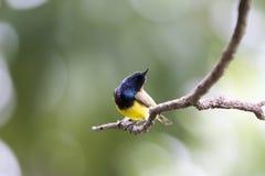 поддерживаемое Оливк Sunbird на ветви в парке Стоковая Фотография RF
