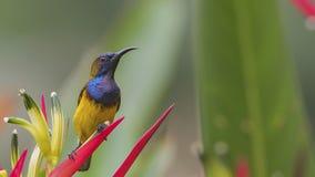 поддерживаемое Оливк Sunbird на цветке Стоковая Фотография