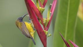 поддерживаемое Оливк Sunbird подавая на цветке Стоковое фото RF