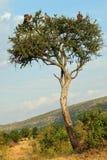 поддерживаемые Бело хищники, Masai Mara, Кения Стоковое Изображение RF