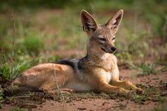 поддерживаемый Серебр jackal лежа в солнечности на злаковике стоковое изображение rf