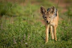 поддерживаемый Серебр jackal стоя в заплате травы стоковые изображения rf