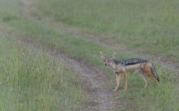 поддерживаемый Черно jackal, mesomelas волка стоковые фото