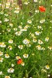 Подлинная флористическая предпосылка белых маргариток, красных маков, beaut Стоковые Изображения