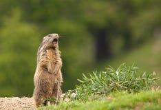 поднимать marmot сигнала тревоги высокогорный Стоковое Изображение