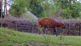 поднимающее вверх антилопы близкое акции видеоматериалы
