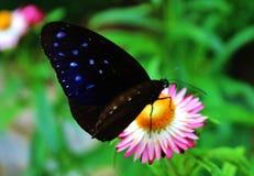 Поднимающее вверх бабочки близкое Стоковое Изображение RF