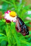 Поднимающее вверх бабочки близкое Стоковые Изображения