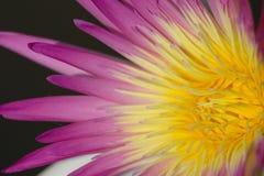 поднимающее вверх близкого лотоса красотки пурпуровое тайское Стоковые Изображения RF