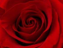 поднимающее вверх близкого макроса красное розовое Стоковые Фото