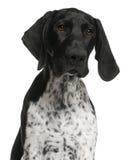 поднимающее вверх близкого немецкого щенка указателя shorthaired Стоковые Изображения RF
