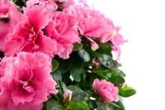 поднимающее вверх близкого пинка цветка розовое Стоковые Фото